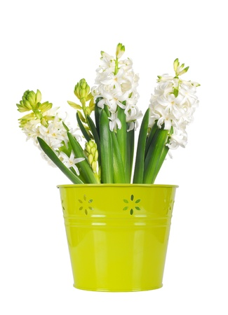 Beautiful white hyacinth flower in a green bucket, isolated on white background