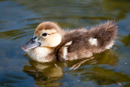 Small duck swimming on the river