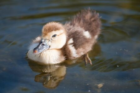 stagnate: Small duck swimming on the river
