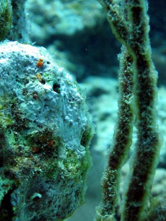 brain coral: Secretary blennie in a brain coral