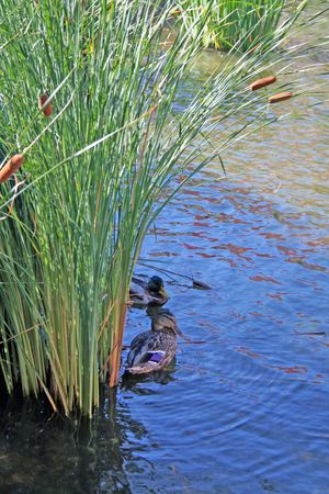Duck couple hiding in the reeds from the bright sun