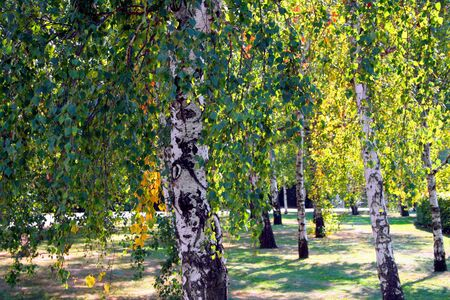 Beautiful red, golden and green leaves on birch trees