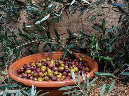 Olive branches and freshly picked olives