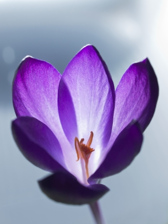Crocus flor photo