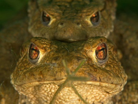 part frog: Mating toads underwater  Bufo bufo