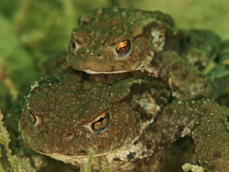 part frog: Mating toads underwater  Bufo buf