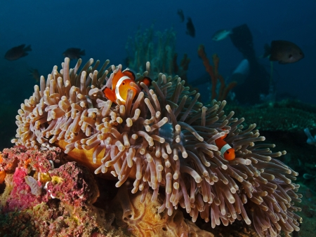 Reef scenery  Sea anemone with Clown fishes  photo