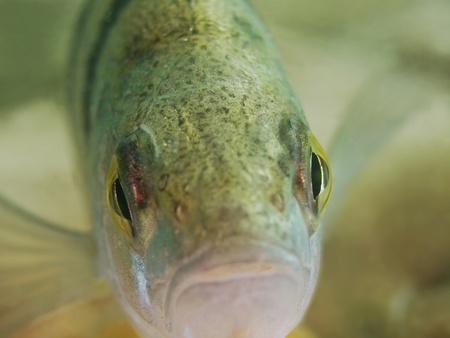 Perch Portrait  Perca fluviatilis Stock Photo - 20865411