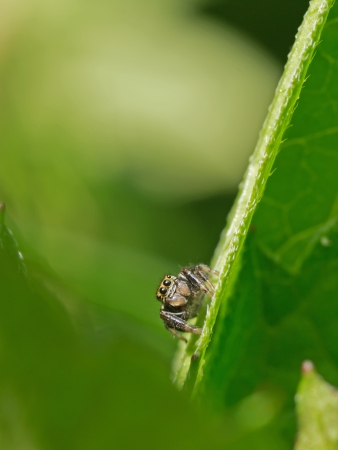 Jumping Spider  Salticidae  photo