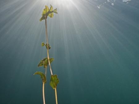 waterweed: Waterweed  genus Elodea