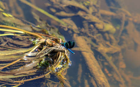 Blue flying adder water insect sitting on water plants 스톡 콘텐츠