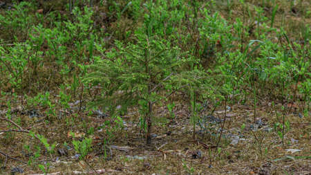 Green soft tree yong plant spruce is growing, dead leafs ground