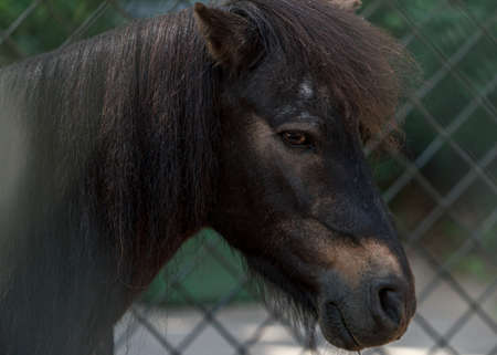 Dark brown pony horse in paddock, animal portrait picture, Riga zoo park 版權商用圖片