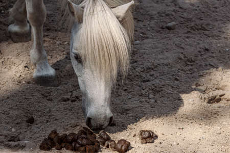 White little horse in paddock smelling feces at Riga zoo park