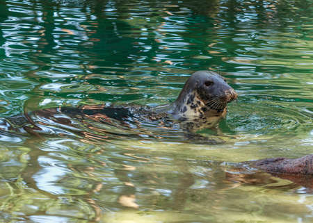 Grey seal swimming in green water pull, sea dog house in Riga zoo garden Imagens