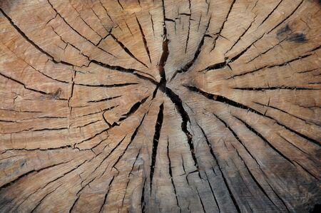 Euclyptus log cross section