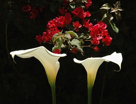 Two Calla Lillies with Bouganvilla in background Imagens