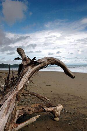 arching: Driftwood Iniciar sesi�n con arqueo rama  Foto de archivo