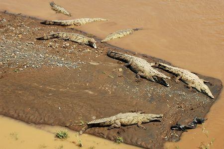 sandbar: Seven American Crocodiles in river and on sandbar (aerial view)