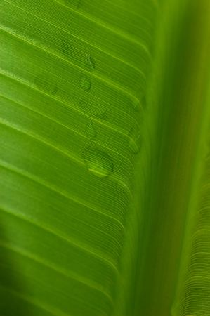 symetry: Sunlight through Banana Leaf with dew