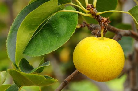 asian pear: 20th Century Pear, Asian Pear, Pyrus Pyrifolia Nijisseiki Rosaceae, hanging on a tree. Stock Photo