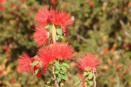 fabaceae: Red Flowers of the Fabaceae Calliandra californicia plant.