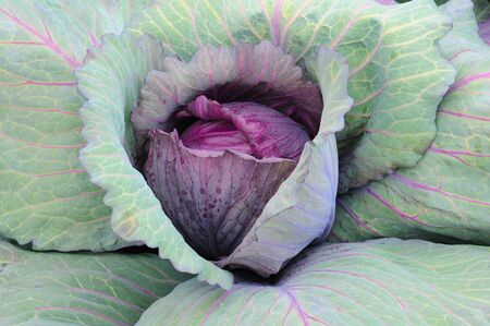 Closeup of a Red Cabbage plant, Brassica oleracea, capitata f. rubra