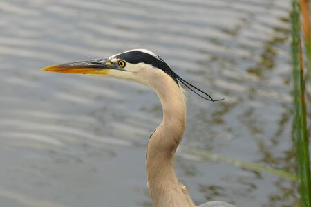 Closeup of a Great Blue Heron (Ardea herodias), head and neck only. photo
