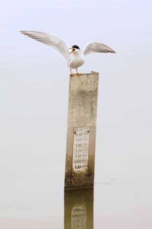 Common Tern (Sterna hirundo) with wings spread, perched atop a water depth guage. photo