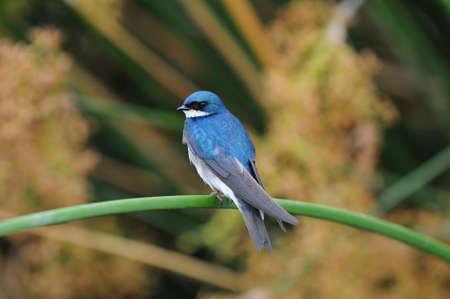 Tree Swallow (iridoprocne bicolor) neergestreken op een riet in een moeras.