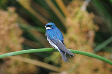 Tree Swallow (iridoprocne bicolor) perched on a reed in a marsh.