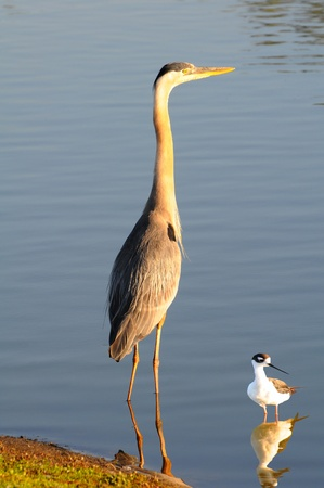A Great Blue Heron and a Black-necked Stilt standing at the edge of a pond. photo