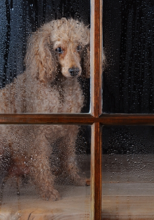 pitiful: An Apricot Poodle sitting in front of a rain soaked window. Dog looks lonely and sad. Vertical format.