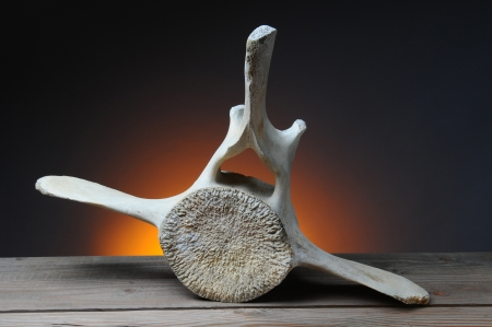 cetacea: California Gray Whale vertebrae on a wood table with a light to dark warm background. Horizontal format.