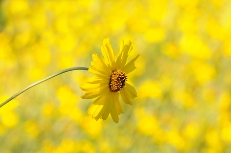 Closeup of a yellow daisy with an out of focus background. Horizontal format.