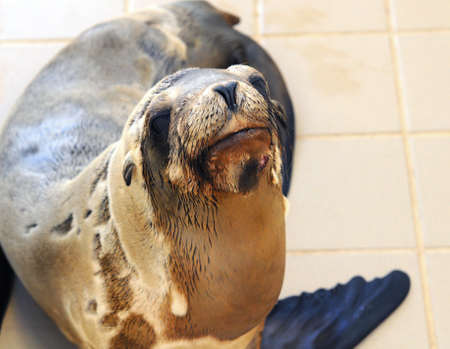 pinniped: Injured Sea lion inside a rescue center