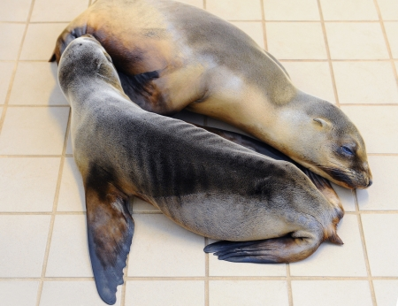 pinniped: Two sea lion pups laying together on the floor of a rescue center