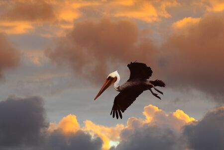 A Brown Pelican, Pelecanus occidentalis, flying against stormy sunset sky