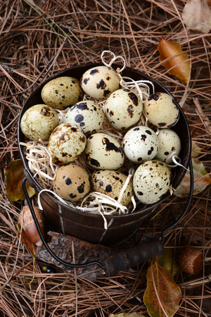 huevos de codorniz: Vista de ángulo alto de un viejo cubo lleno de huevos de codorniz. El cubo es una de las bellotas, hojas de pino y hojas sobre un suelo del bosque. Foto de archivo