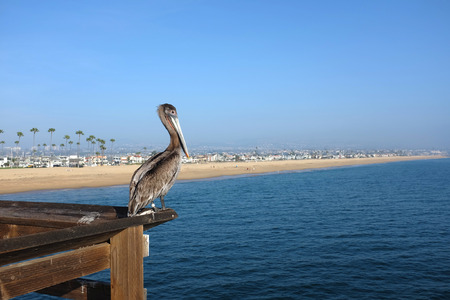 A brown pelican perch in the railing of the Balboa Pier in Newport Beach, California overlooking the Pacific Ocean. The Balboa Peninsula beach front is in the background