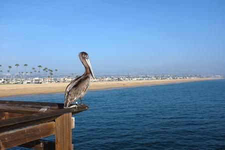 Een bruine pelikaan baars in de leuning van de Balboa Pier in Newport Beach, Californië met uitzicht op de Stille Oceaan. Balboa Peninsula strand is op de achtergrond Stockfoto - 36492368