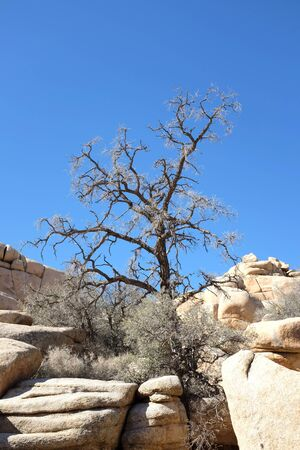 joshua tree: A dying tree growing out of the rocks a Joshua Tree National Park, California.