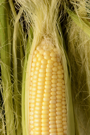 shucked: Closeup of a partially shucked ear of corn in vertical format. The fresh picked sweet corn fills the frame surrounded by silk and husk.