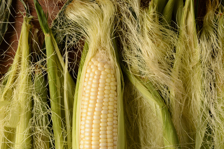 An ear of fresh picked corn on the cob. It is partiall shucked and surrounded by more silk and husk in horizontal format.