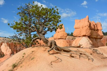 bristlecone: Horizontal shot of a Bristlecone Pine tree along the Queens Garden Trail in Bryce Canyon National Park.