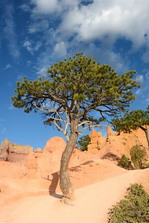 bristlecone: A Bristlecone Pine tree along the Queens Garden Trail in Bryce Canyon National Park. Stock Photo