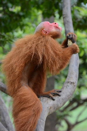 new world: Uakari is the common name for the New World monkeys of the genus Cacajao. The red faced monkey is climbing a tree in the Peruvian rain forest.