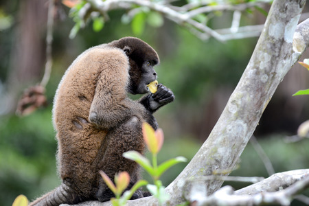 eating fruits: A Woolly Monkey in the Peruvian Rain Forest eating a banana. The woolly monkeys are the genus Lagothrix and have prehensile tails.