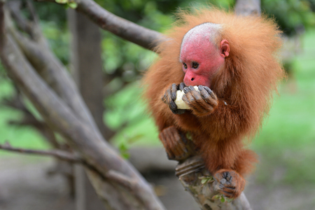 genus: Uakari is the common name for the New World monkeys of the genus Cacajao. The red faced monkey is eating a banana in the Peruvian rain forest.