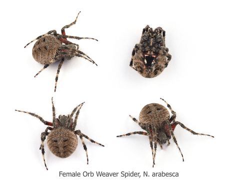 orb weaver: Four views of a Female Orb Weaver Spider, N. arabesca Stock Photo